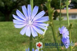 Рецепты фитотерапии: цикорий